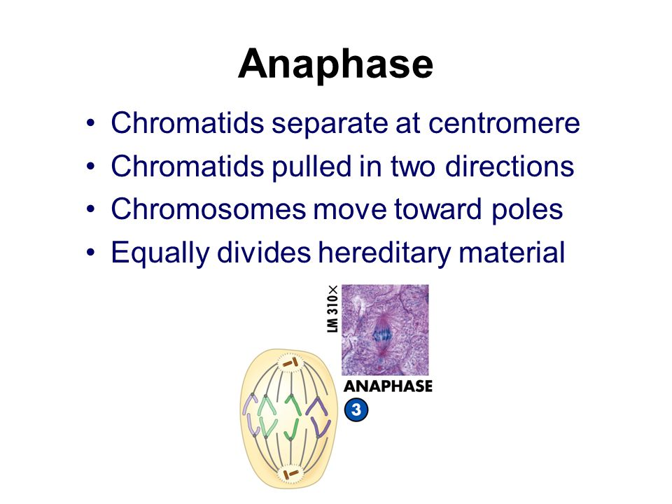Anaphase Chromatids separate at centromere