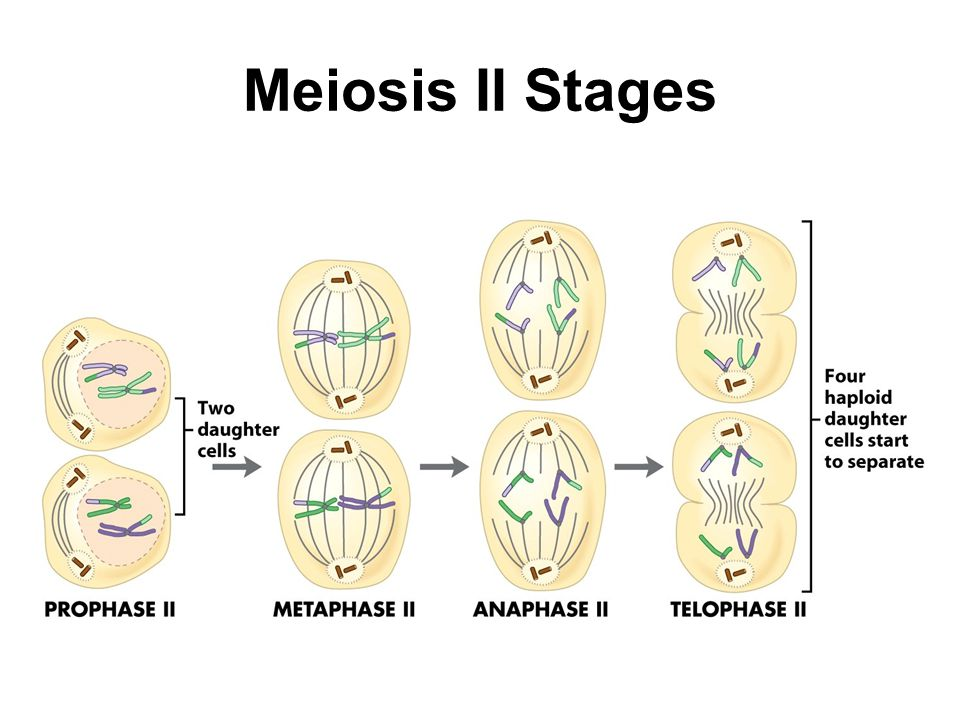 Meiosis II Stages