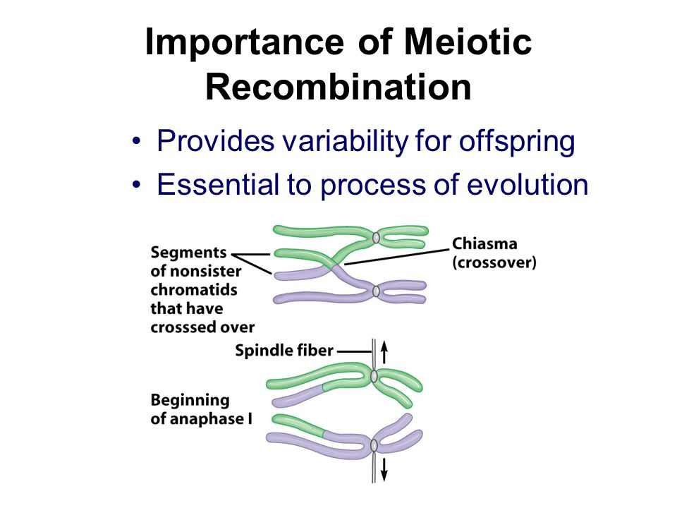 Importance of Meiotic Recombination