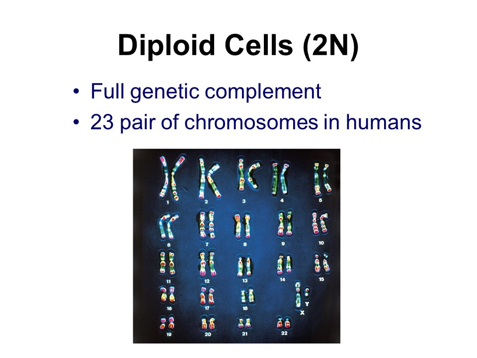 Diploid Cells (2N) Full genetic complement
