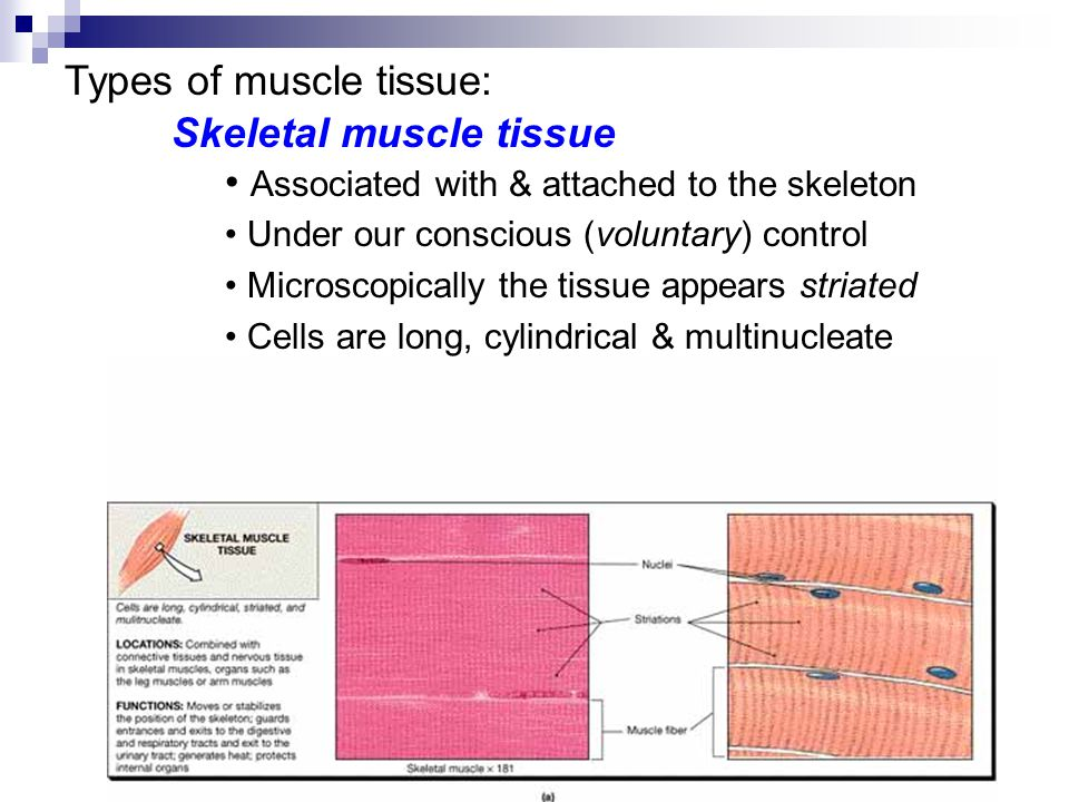 Types of muscle tissue: Skeletal muscle tissue