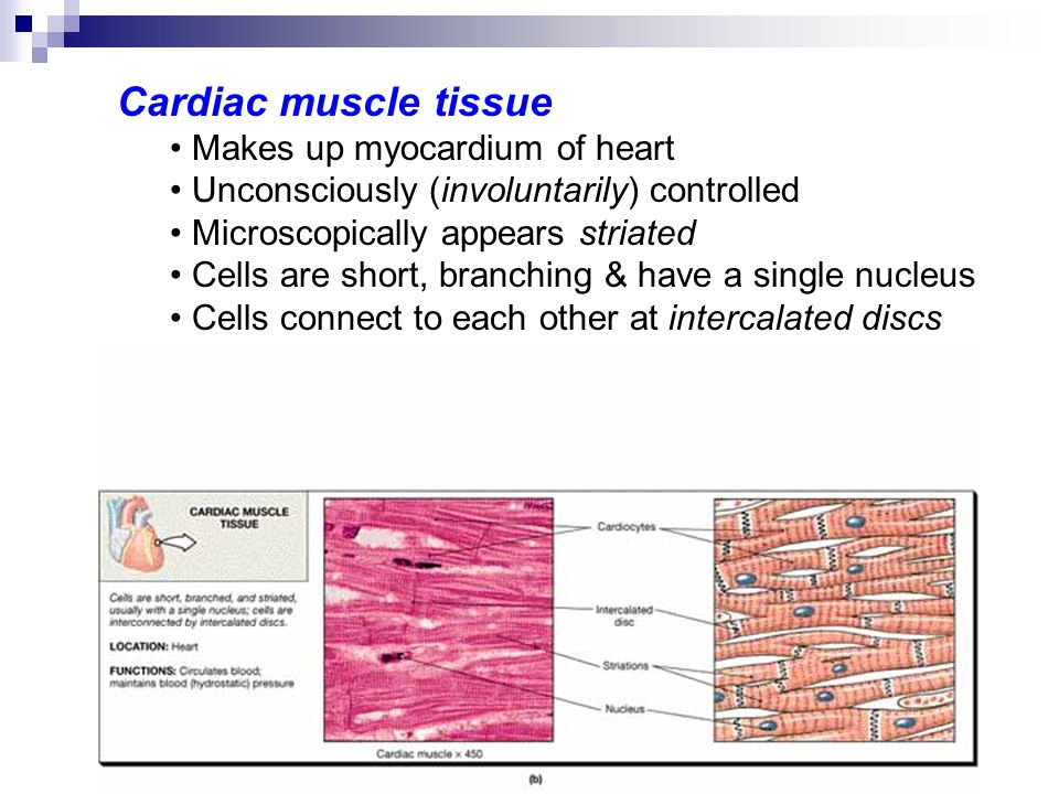 Cardiac muscle tissue Makes up myocardium of heart. Unconsciously (involuntarily) controlled. Microscopically appears striated.
