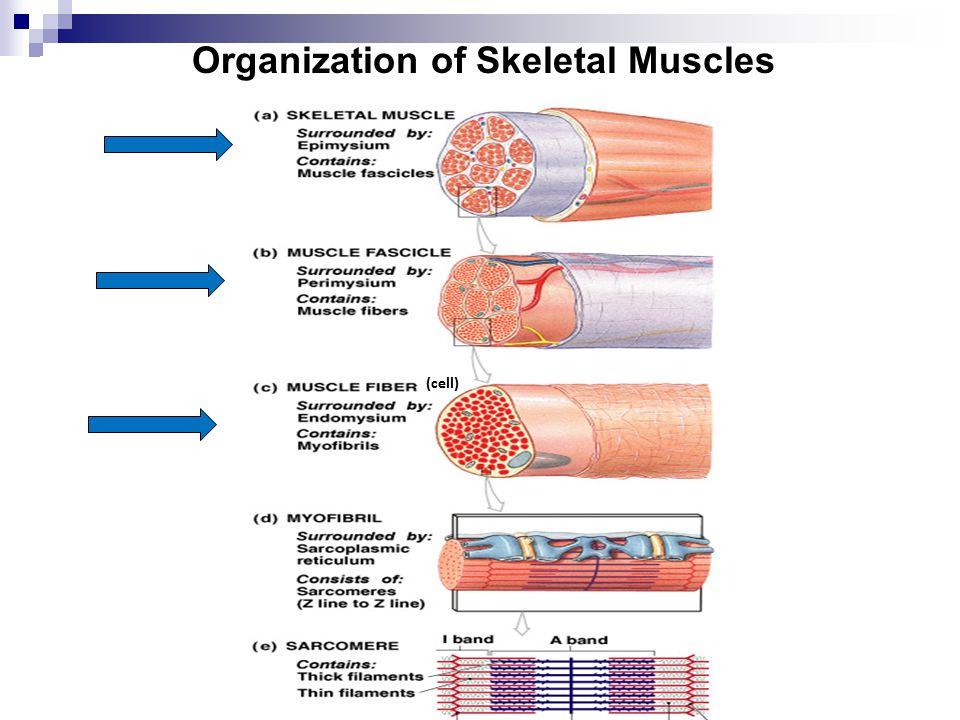 Organization of Skeletal Muscles