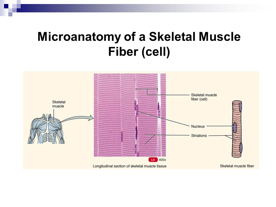 Microanatomy of a Skeletal Muscle Fiber (cell)