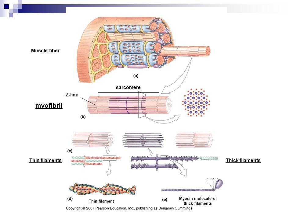 Myosin molecule of thick filaments