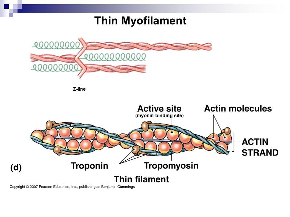 Thin Myofilament Z-line (myosin binding site)