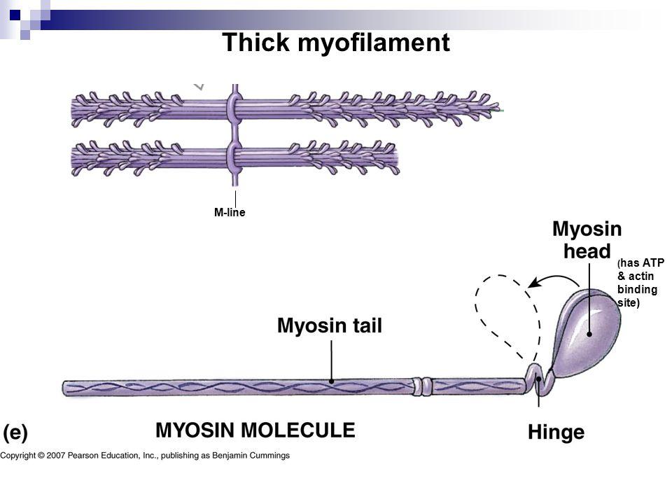 Thick myofilament M-line (has ATP & actin binding site)