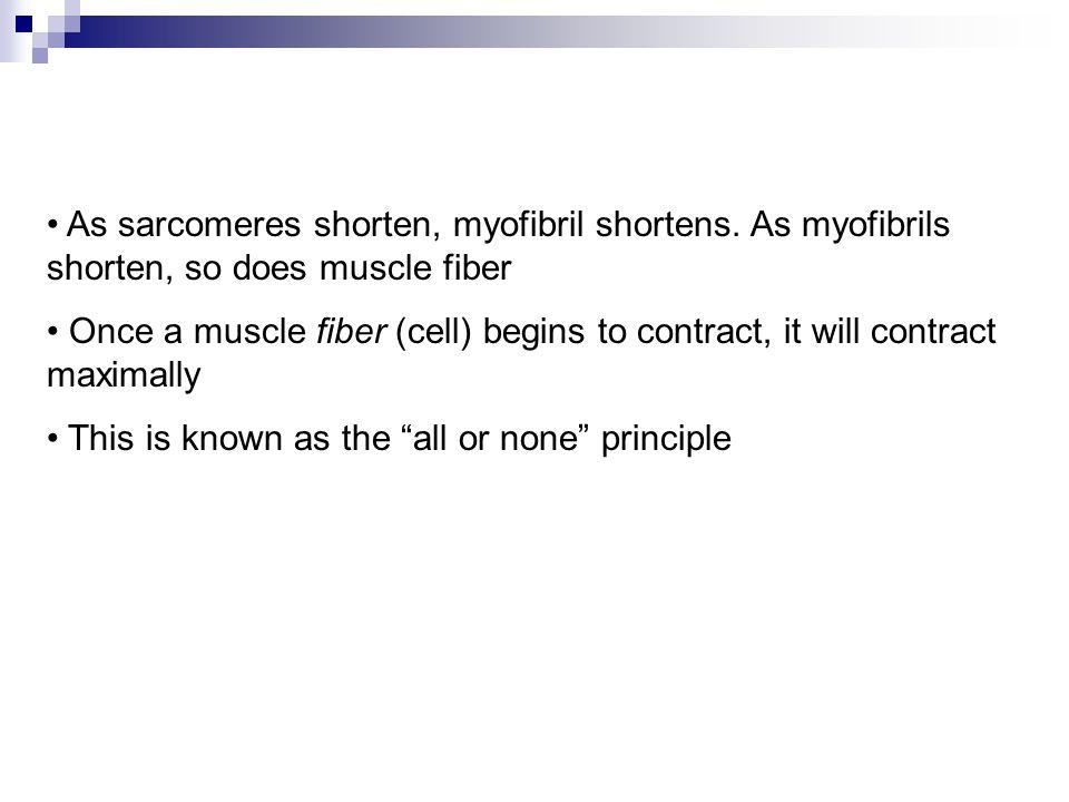 As sarcomeres shorten, myofibril shortens