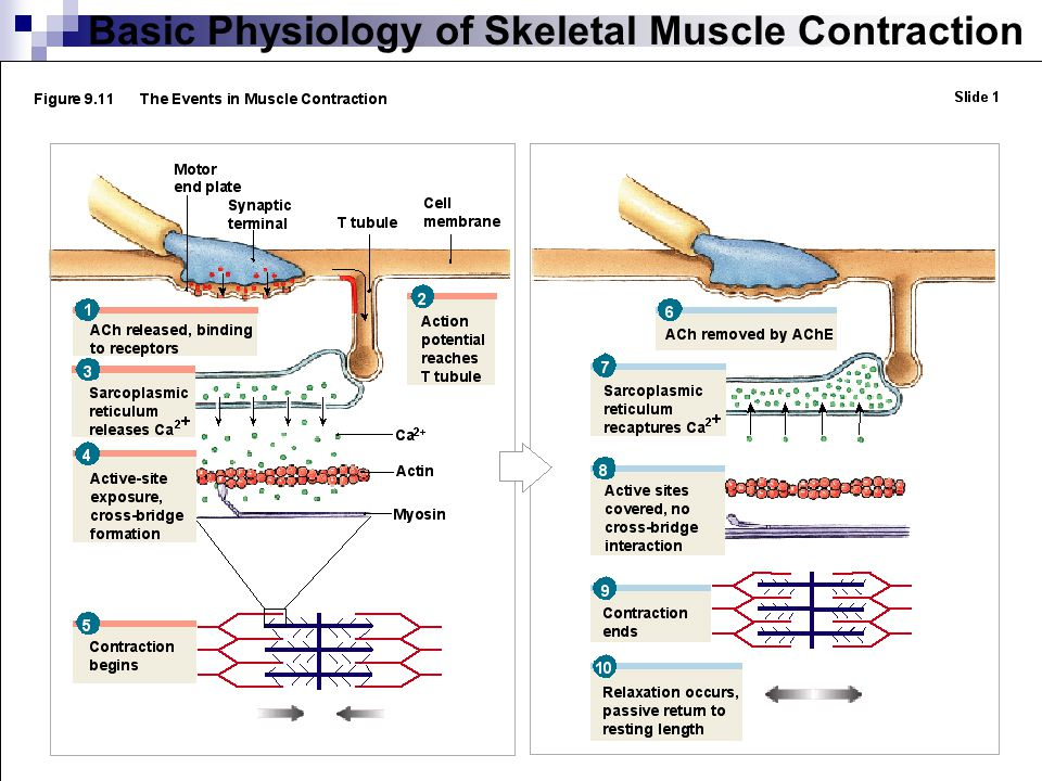 Muscle Physiology Labratory