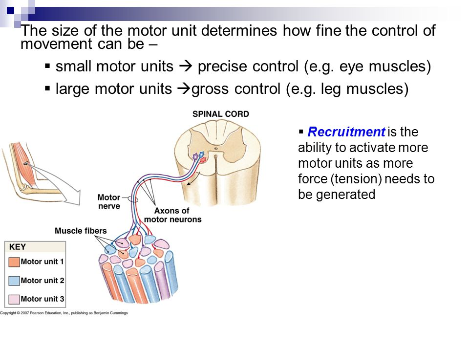 small motor units  precise control (e.g. eye muscles)