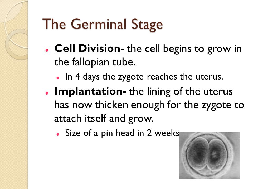 The Germinal Stage Cell Division- the cell begins to grow in the fallopian tube. In 4 days the zygote reaches the uterus.