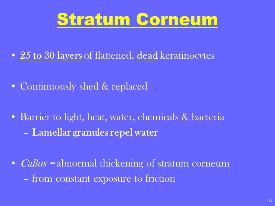 Stratum Corneum 25 to 30 layers of flattened, dead keratinocytes