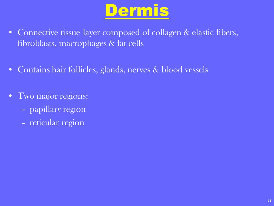 Dermis Connective tissue layer composed of collagen & elastic fibers, fibroblasts, macrophages & fat cells.