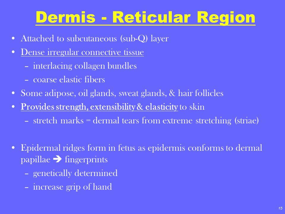 Dermis - Reticular Region