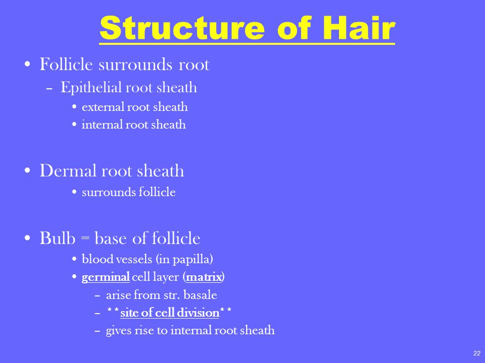 Structure of Hair Follicle surrounds root Dermal root sheath