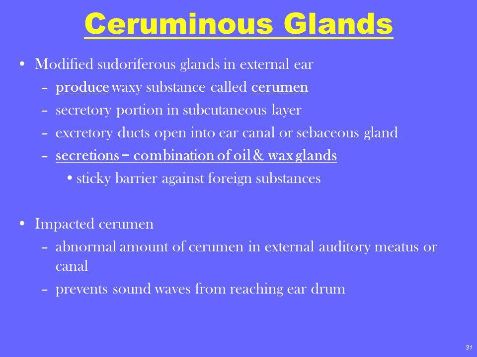 Ceruminous Glands Modified sudoriferous glands in external ear