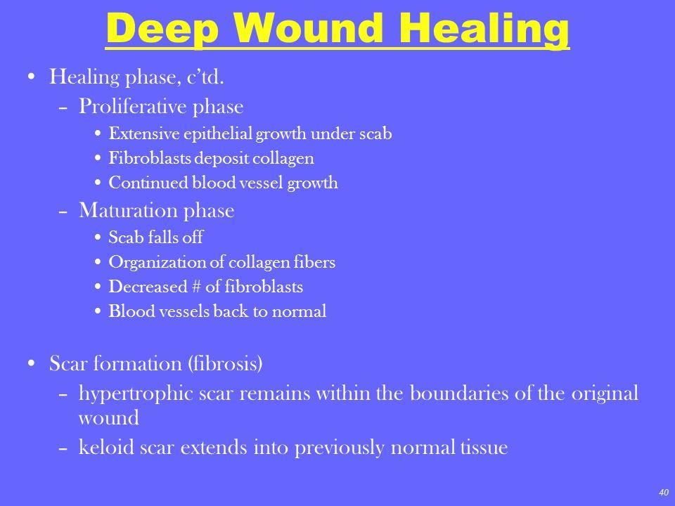 Deep Wound Healing Healing phase, c'td. Proliferative phase