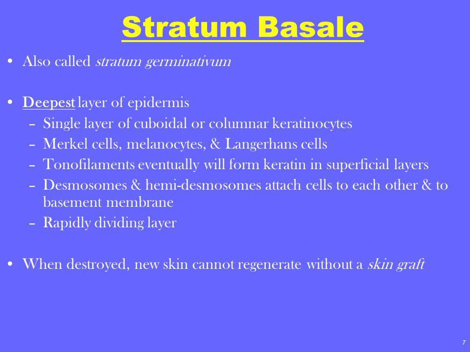 Stratum Basale Also called stratum germinativum