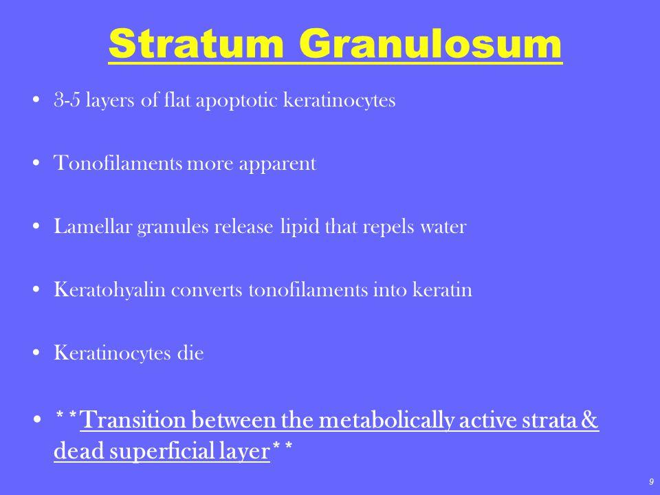 Stratum Granulosum 3-5 layers of flat apoptotic keratinocytes. Tonofilaments more apparent. Lamellar granules release lipid that repels water.