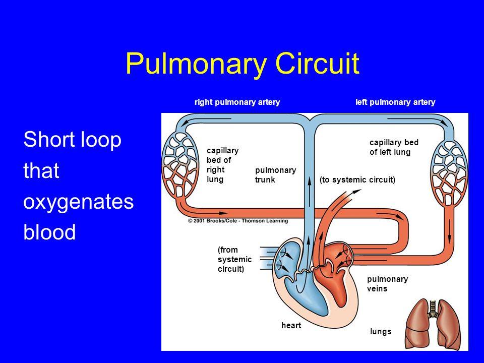 Pulmonary Circuit Short loop that oxygenates blood