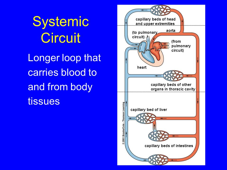 Systemic Circuit capillary beds of head. and upper extremities. aorta. (to pulmonary. circuit) (from.