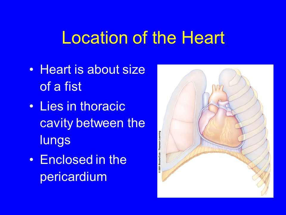 Location of the Heart Heart is about size of a fist