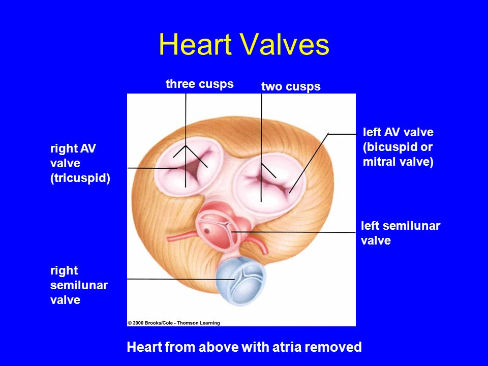 Heart Valves Heart from above with atria removed three cusps two cusps