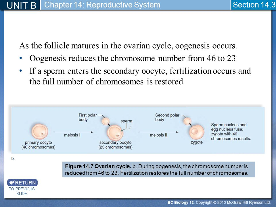 UNIT B As the follicle matures in the ovarian cycle, oogenesis occurs.