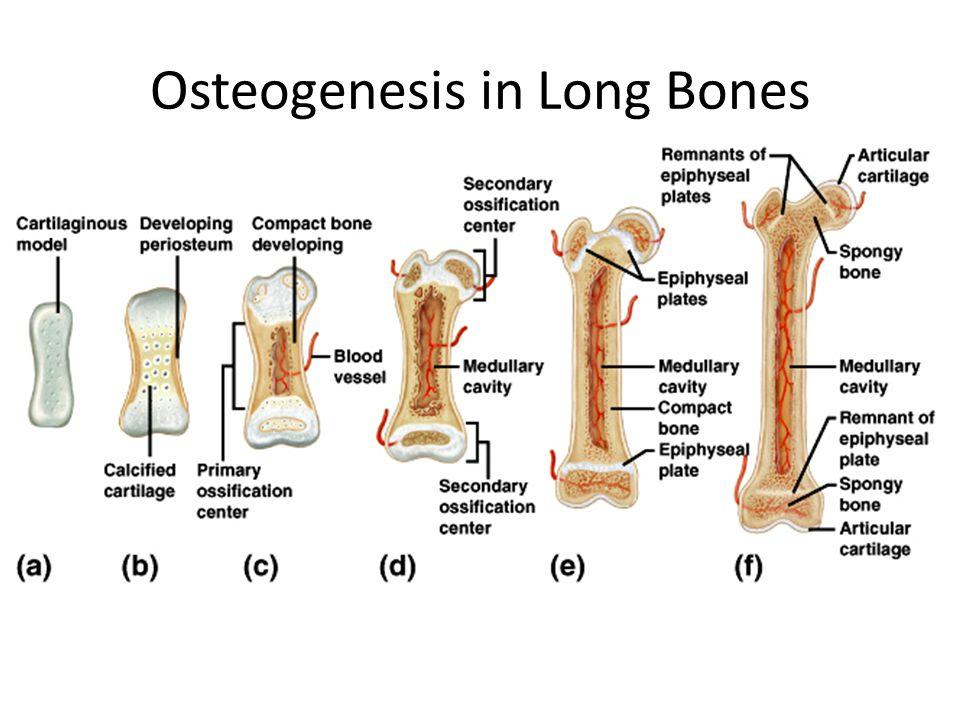 Osteogenesis in Long Bones