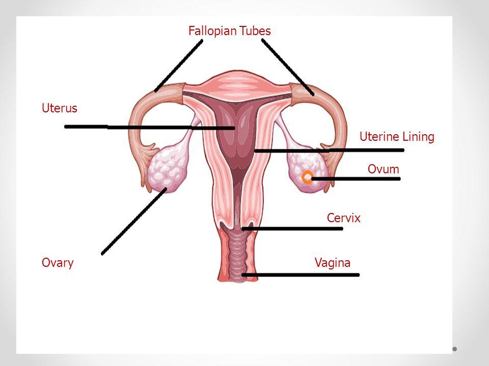 Fallopian Tubes Uterus Uterine Lining Ovum Cervix Ovary Vagina