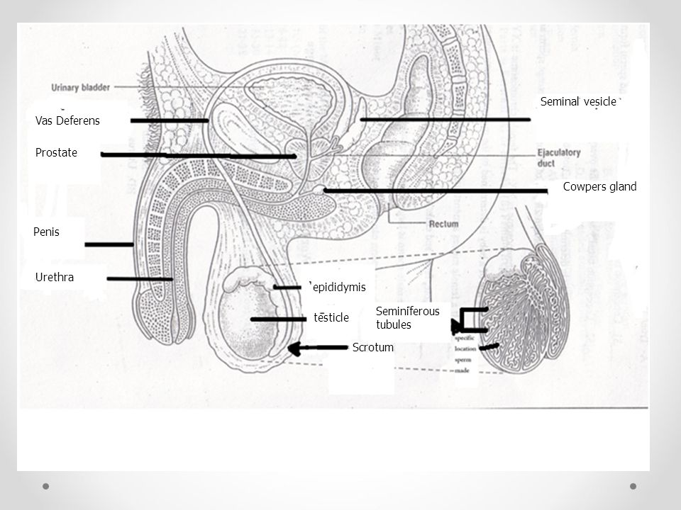 Seminal vesicle Vas Deferens. Prostate. Cowpers gland. Penis. Urethra. epididymis. Seminiferous.