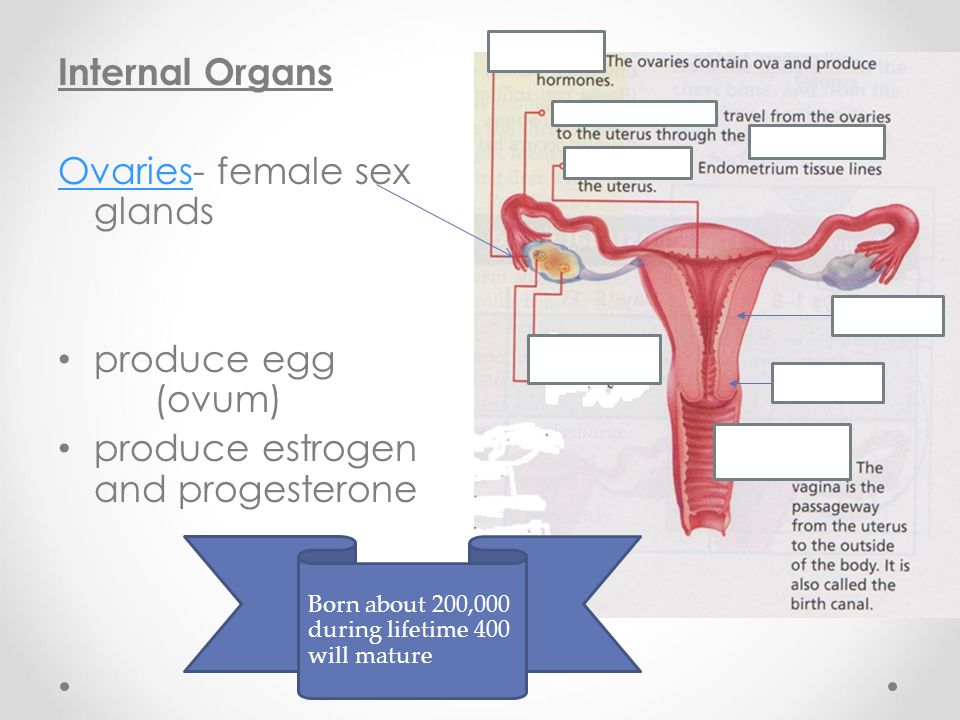 Ovaries- female sex glands