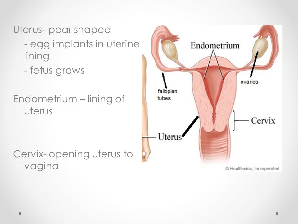 Uterus- pear shaped - egg implants in uterine lining. - fetus grows. Endometrium – lining of uterus.