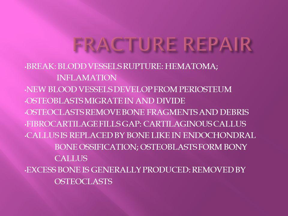 FRACTURE REPAIR BREAK: BLODD VESSELS RUPTURE: HEMATOMA; INFLAMATION