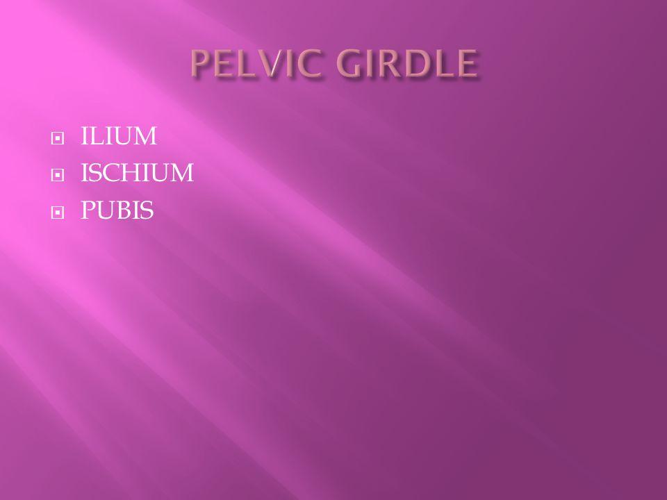 PELVIC GIRDLE ILIUM ISCHIUM PUBIS