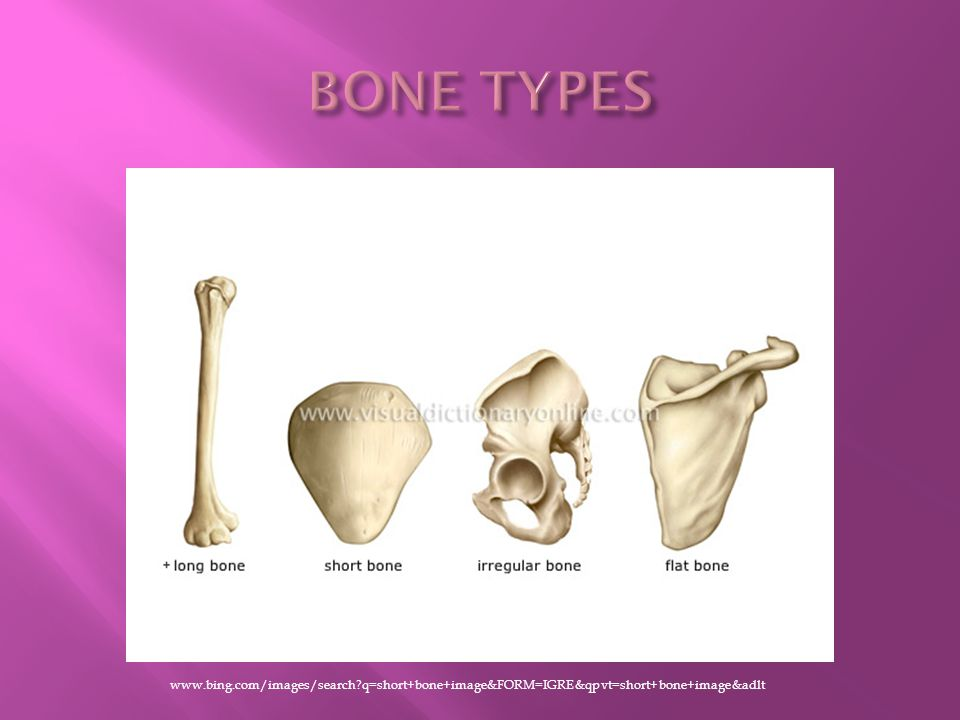 BONE TYPES www.bing.com/images/search q=short+bone+image&FORM=IGRE&qpvt=short+bone+image&adlt