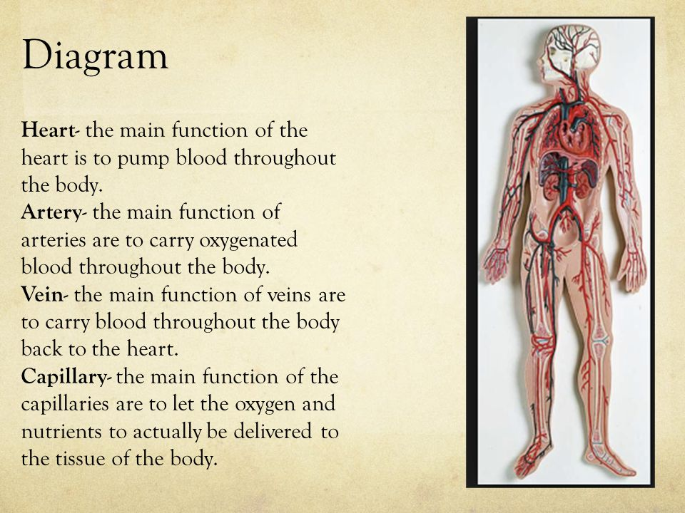 Diagram Heart- the main function of the heart is to pump blood throughout the body.