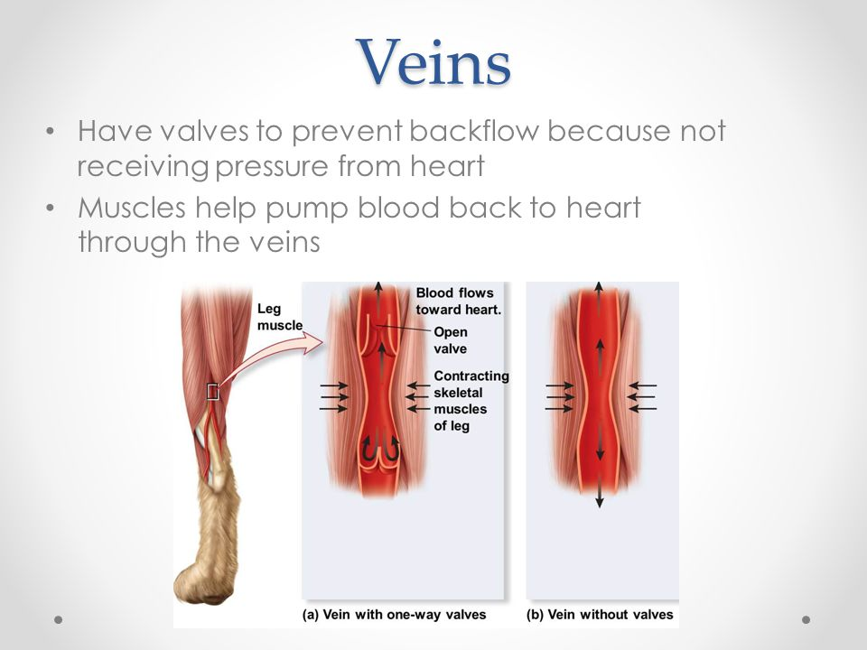 Veins Have valves to prevent backflow because not receiving pressure from heart.