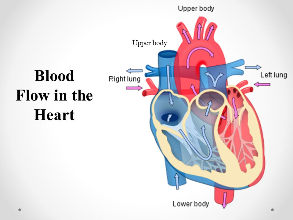 Upper body Blood Flow in the Heart