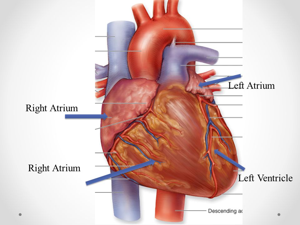 Left Atrium Right Atrium Right Atrium Left Ventricle