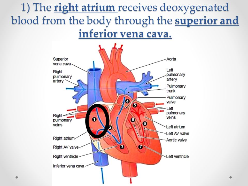 1) The right atrium receives deoxygenated blood from the body through the superior and inferior vena cava.