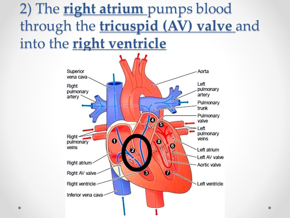 2) The right atrium pumps blood through the tricuspid (AV) valve and into the right ventricle