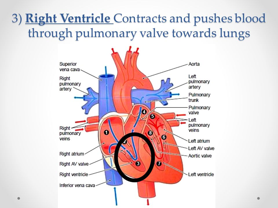 3) Right Ventricle Contracts and pushes blood through pulmonary valve towards lungs
