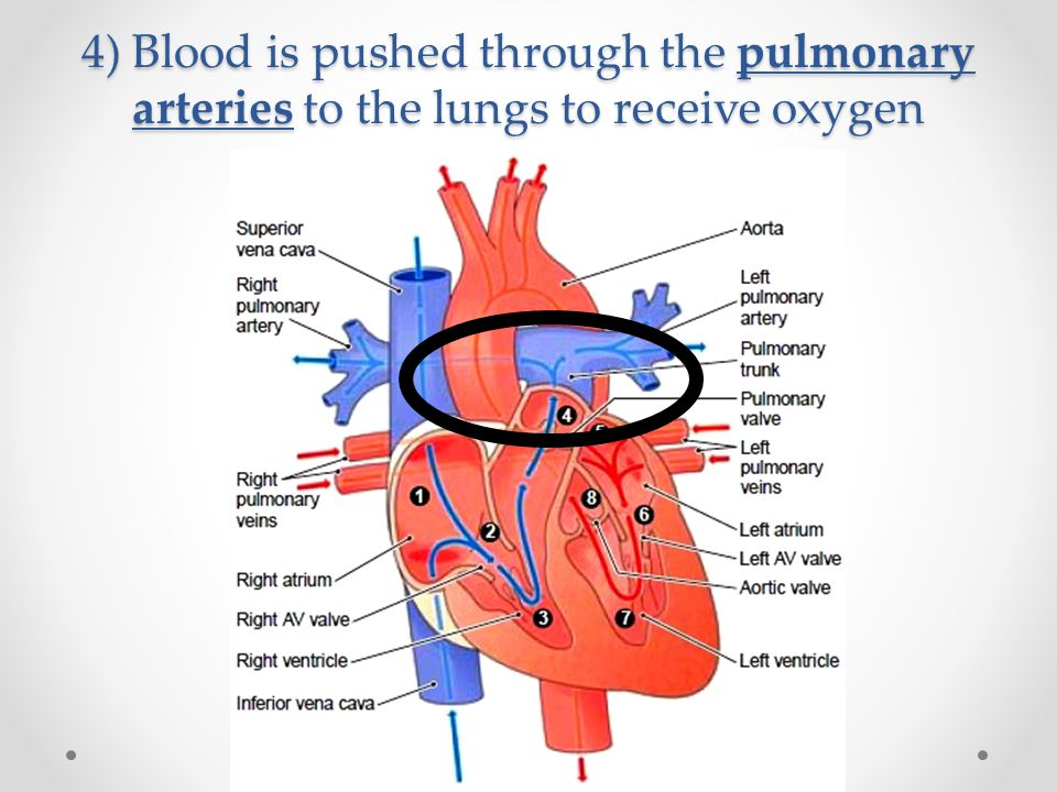 4) Blood is pushed through the pulmonary arteries to the lungs to receive oxygen