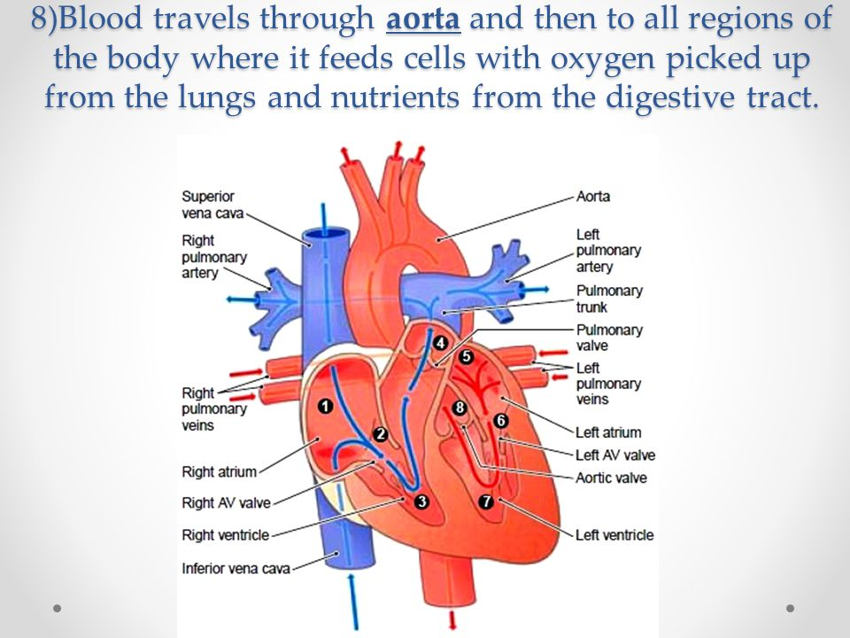 8)Blood travels through aorta and then to all regions of the body where it feeds cells with oxygen picked up from the lungs and nutrients from the digestive tract.