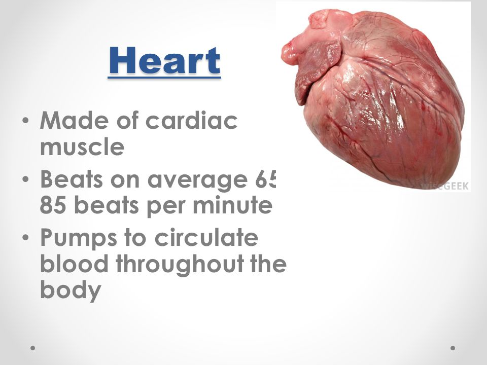 Heart Made of cardiac muscle Beats on average 65-85 beats per minute
