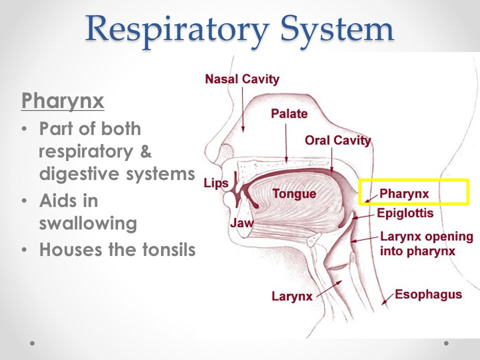 Respiratory System Pharynx
