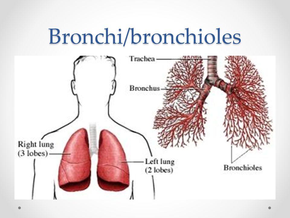 Bronchi/bronchioles