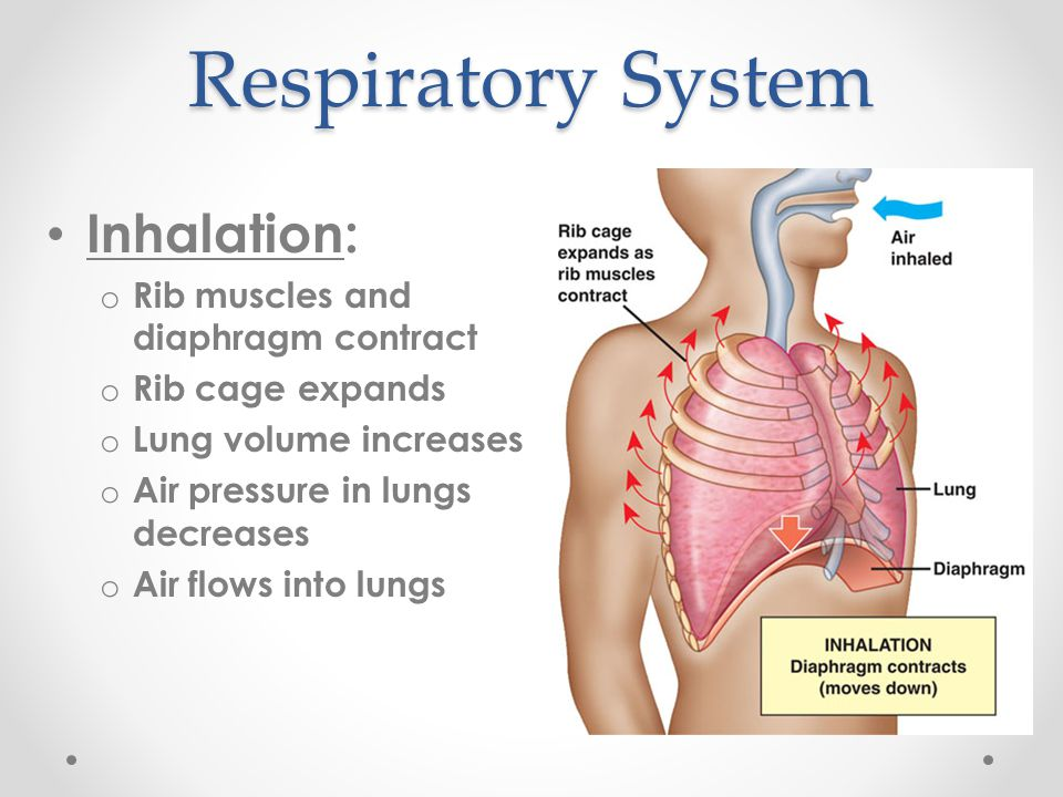 Respiratory System Inhalation: Rib muscles and diaphragm contract