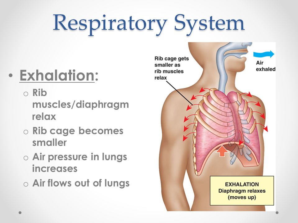 Respiratory System Exhalation: Rib muscles/diaphragm relax